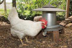 Lovely happy white hens standing near coop door - stock photo