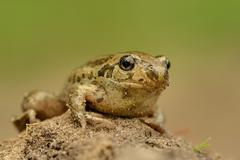 Frog Common Spadefoot - Pelobates fuscus sitting on the ground. - stock photo