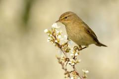 Common Chiffchaff (Phylloscopus collybita) sitting on the blooming branch wit - stock photo