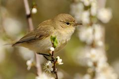 Common Chiffchaff (Phylloscopus collybita) sitting on the blooming branch wit Stock Photos