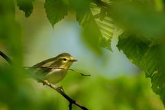 Wood Warbler - Phylloscopus sibilatrix is perching on the branch. Small fores Stock Photos