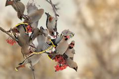 'Bohemian Waxwing - Bombycilla garrulus, the flock of the waxwings on the row Stock Photos