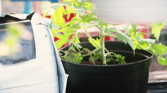 Potting young tomato plants Stock Footage