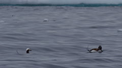 Close on two long tailed ducks swimming to blue ice Stock Footage