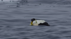 Close on male eider dipping head in sea Stock Footage