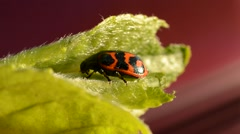 Glischrochilus quadripunctata beetle resting in a small leaf in summer Stock Footage