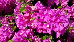 Pink bougainvillea flowers with green leaves Stock Photos