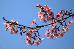 Pink Wild Himalayan Cherry at Chiang Mai, Thailand Stock Photos