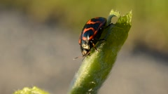 Glischrochilus quadripunctata beetle wandering on a green plant stem in summer - stock footage