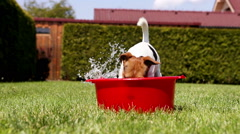 Funny Jack Russell takes a bath on the home green grass yard Stock Footage