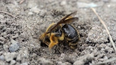 Close-up of Solitary Beethat digging in the ground Stock Footage