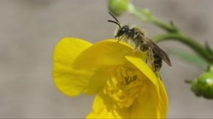 Close-up of Solitary Bee on yellow flower Stock Footage
