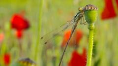 Dragonfly in dew on poppy flower Stock Footage