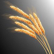 Wheat ears isolated. EPS 10 - stock illustration