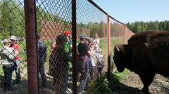 Children looking at European bison through a fencing, Full HD footage Stock Footage