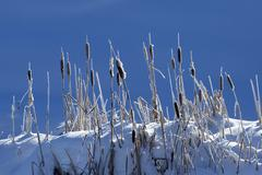 Cattails growing on snowy hilltop Stock Photos