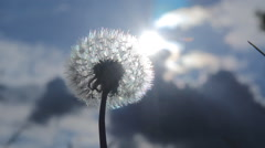 Dandelion seeds flying in the blue sky. - stock footage