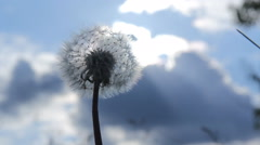 Dandelion seeds flying in the blue sky. Stock Footage