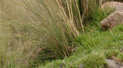PERU: Andean grass in scenery in andes mountains Stock Footage