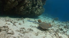 Stingray Taeniura Lymma. Diving in the Red sea near Egypt. - stock footage