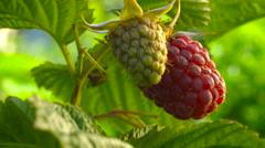 Raspberry ripens - stock footage