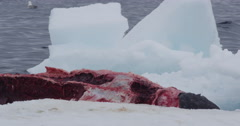 Close on bloody narwhal carcass on iceberg Stock Footage
