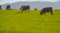 Deep red cattle cow grazing Stock Footage