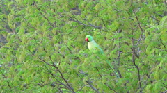 Wild parakeet sitting on branch and eating foliage Stock Footage