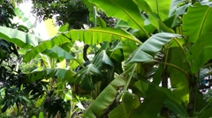 Banana tree leafs waving wind sunny day Stock Footage