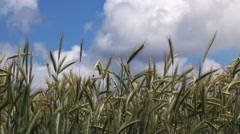 Triticale field, cultivated hybrid of wheat and rye Stock Footage