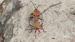 Red cotton bug are breeding. Stock Footage