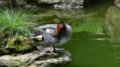 Eurasian teal (Anas crecca) preening feathers and showing corkscrew-shaped penis Stock Footage