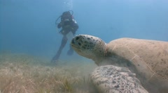 Immersion with grazing at the bottom of the green turtles. Stock Footage