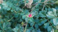 Autumn rose haw Stock Footage
