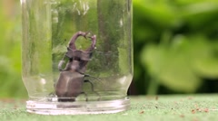 Male Stag beetle under a glass jar. - stock footage