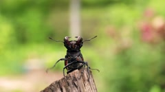 Stag beetle opens wings and flies off into the distance. Stock Footage