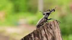 For captions. Stag-beetle crawled to the edge of the beam. Stock Footage