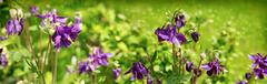 Columbine flower with bumble bee. - stock photo
