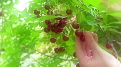 Season of Picking Cherries in an Orchard Stock Footage