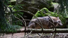 Grey wolf (Canis lupus) walking behind fallen tree trunk in forest - stock footage
