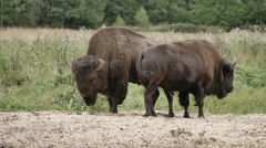 Large bison bison bonasus in the reserve Stock Footage
