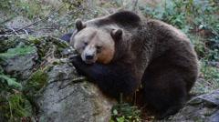 European brown bear (Ursus arctos arctos) resting against rock Stock Footage