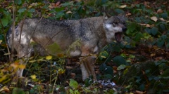European grey wolf (Canis lupus) eating wood pigeon forest Stock Footage