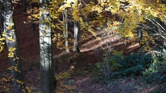 Timber wolves (Canis lupus) hunting in forest in autumn - stock footage