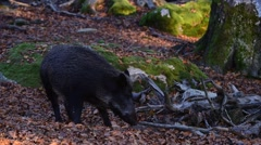 Panning shot of wild boar (Sus scrofa) sow with piglet foraging in forest - stock footage