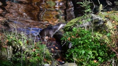 European river otter (Lutra lutra) leaving water of pond in forest Stock Footage