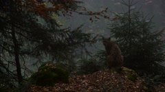 Eurasian lynx in autumn forest in the fog and looking into ravine Stock Footage