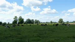 Cows on a meadow.  Stock Footage