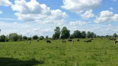 Cows on a meadow. Farm animals. Organic farming. - stock footage