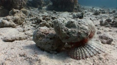 Very poisonous stone fish. Diving in the Red sea near Egypt. Stock Footage